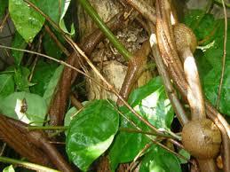 ayahuasca - yage wiki