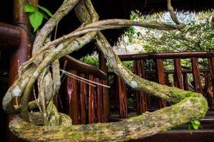 ayahuasca tourism - Ayahuasca Vine