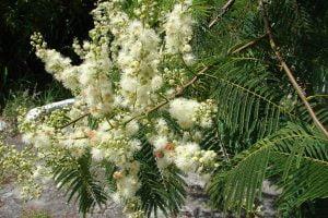 Tynnanthus panurensis ? Clavohuasca shaman plant medicine ayahuasca