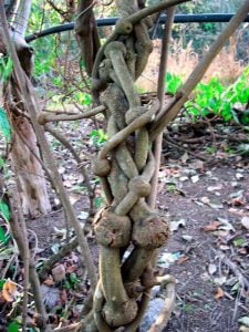 ayahuasca vine in the wild- ayahuasca shamanism plants