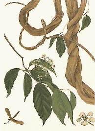 ayahuasca banisteriopsis caapi