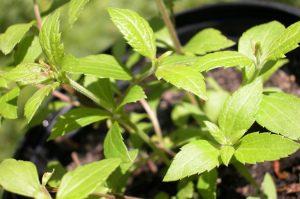 Calea zacatechichi ? Thle-pelakano shaman ayahuasca plant medicine