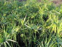 cyperus piripiri ayahuasca shamanism plants