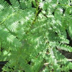 Mimosa hostilis ? Jurema - shaman plant medicine