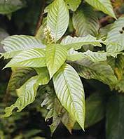 psychotria viridis ayahuasca yage- ayahuasca shamanism plants