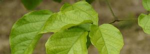 shaman plant medicine - Tynnanthus panurensis ? Clavohuasca- ayahuasca shamanism plants